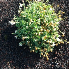 flowers managing to grow in volcanic ash