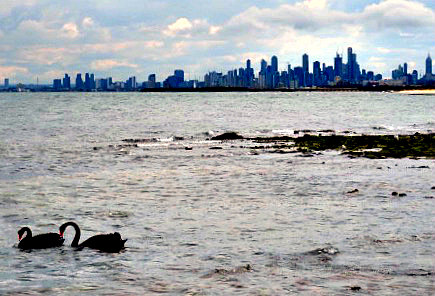 Black swans with a view of the skyline